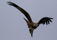 Red Kite at Bellymack Hill Farm